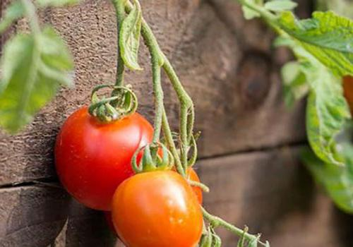 在450套格林bbin出租的花园里,葡萄藤上长着西红柿
